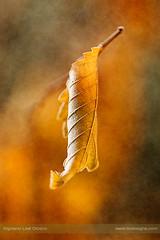 Autumn fashion (ILO DESIGNS) Tags: 150mm 2017 artística d3300 hojas macro madrid naturaleza otoño septiembre texturing nature naturallight sunrise sigma15028 leaf tree sunlight sunny autumn fall closeup macrofotografía color wildlife shapes