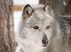 Adirondack wildlife refuge (donalddewulf) Tags: newyorkstate new york wolf wolves wildlife refuge adirondack upstate preservation