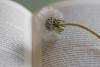 Bookmark of summer (michael_hamburg69) Tags: pusteblume dandelion löwenzahn samen fallschirm cramaillot diente de león pisciacane 蒲公英 [蒲公英] pǔgōngyīng samenstand buch book bookmark
