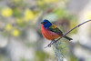 Painted Bunting (PeterBrannon) Tags: backlit bird bunting crayola8 florida nature paintedbunting passerinaciris wildlife bokeh