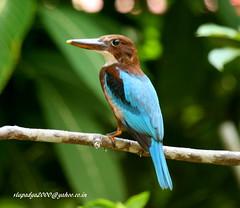 IMG_4578 White-throated Kingfisher (Halcyon smyrnensis) (vlupadya) Tags: greatnature animal aves fauna indianbirds whitethroated halcyon kundapura karnataka