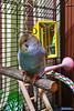 2018-01-11_22-07-31_00005 (Railfan-Eric) Tags: budgie parakeet budgerigar birds
