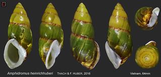 amphidromus heinrichhuberi2 vietnam 64mm