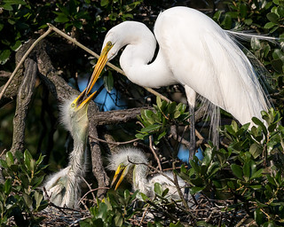 Great Egret and Youth