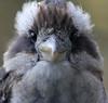 Kookaburra (iansand) Tags: kookaburra laughingkookaburra lanecove