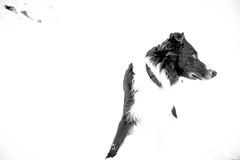 Whiteout (JJFET) Tags: border collie dog sheepdog