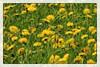 Dandelion (Heinze Detlef) Tags: löwenzahn pflanze blume wiese blüte küchenpflanze