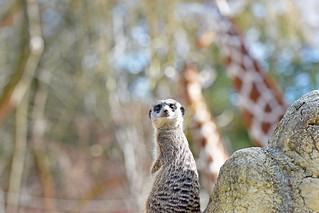 Mislim da sam vidio žirafu! / I thought I saw a giraffe!