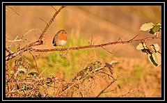 """Robin Treading Carefully..."" (NikonShutterBug1) Tags: nikond7100 tamron70300mm birds ornithology wildlife nature spe smartphotoeditor birdfeedingstation bokeh birdsfeeding robin"