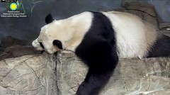 2018_01-30 (gkoo19681) Tags: meixiang beautifulmama sopretty proudmama fuzzywuzzy adorableears danglingleg naptime comfy perfection amazing meltinghearts ccncby nationalzoo