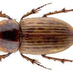 Euheptaulacus sus (Herbst, 1783) Syn.: Heptaulacus sus (Herbst, 1783) thumbnail