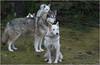 was hat er gesagt, es geht bald los! (baerchen57) Tags: dsc3997jpg huskies hunde schlittenhunde husky tiere animals wald benneckenstein