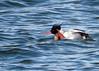RBME feet (Kelly Preheim) Tags: redbreasted merganser birds waterfowl south dakota
