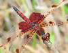 hearts from this little Calico (Vicki's Nature) Tags: calicopennant male small dragonfly hearts spots scarlet red redeyes wings biello georgia vickisnature canon s5 7864 returnfragile