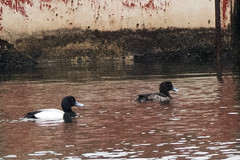 Wreck Pond: Tufted Duck, Female & Greater Scaup, Male (donna lynn) Tags: 2018 january winter birds birding nature wildlife outdoors nikon d500 newjersey wreckpond tuftedduck female rarity aythyafuligula nj monmouthcounty