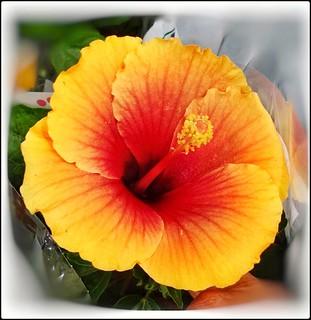 Cores da natureza. #flores #flowers #hibisco #hibiscoamarelo #naturalbeauty #natureza #naturephotography #jardim #floreslindas #revistaxapury #eunotg #criacaodedeus #obradivina #instaflowers #instaflores #motox2 #instamotox2 #garden #floricultura #instagr