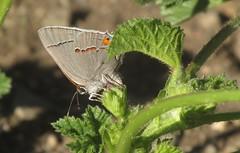 Strymon melinus (TJ Gehling) Tags: insect lepidoptera butterfly lycaenidae hairstreak commonhairstreak grayhairstreak strymon strymonmelinus ohlonegreenway elcerrito