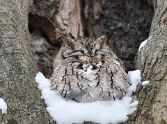 Eastern Screech-Owl (Kremlken) Tags: owls pennsylvania crawfordcounty birds birding birdwatching