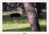 Sanglier et marcassin (gilbert.calatayud) Tags: sanglier marcassin sus scrofa suidés mammifères omnivore donana andalousie espagne juvénile laie
