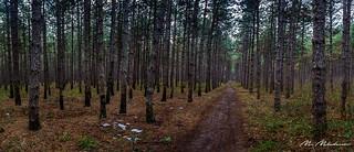 Dashing through pine forest