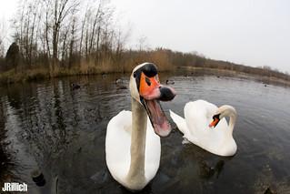 mute swan, Höckerschwan, Cygnus olor @ Auwald, Leipzig 2018