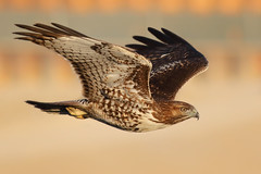 A Determined Hawk (bmse) Tags: canon 7d2 400mm f56 l salah baazizi wingsinmotion bmse redtailed hawk bolsa chica wetlands