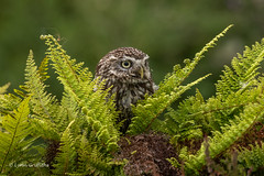 Look out for the spider behind you! 750_0321.jpg (Mobile Lynn - Limited internet) Tags: nature owls birds littleowl bird fauna strigiformes wildlife nocturnal otterbourne england unitedkingdom gb coth specanimal coth5 ngc npc