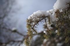 nature (bulbocode909) Tags: valais suisse branches hiver neige nature montagnes vert arbres