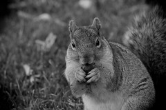 Squirrel, Morton Arboretum. 420 (EOS) (Mega-Magpie) Tags: canon eos 60d outdoors nature wildlife cute hungry squirrel nut the morton arboretum lisle dupage il illinois usa america bw mono black white monochrome