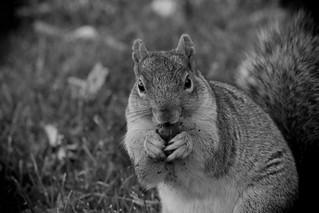 Squirrel, Morton Arboretum. 420 (EOS)