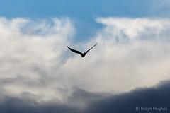 barcud-2995 (www.atgof.co) Tags: red kite barcud cymru wales ceredigion