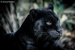 Black Panther (JKmedia) Tags: jaguar melanism big cat bigcat black panther boultonphotography chesterzoo cheshire february 2018 portrait animal goshi pantheraonca
