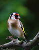 chardonneret élégant - Carduelis carduelis - European Goldfinch (Bruno Chambrelent) Tags: chardonneret élégant carduelis european goldfinch