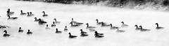 cold morning (RubyT (I come here for cameradarie)) Tags: pentaxkp da50200wr geese canadageese lake water steam birds черноеибелое bw nb bn noirblanc blancoynegro schwarzweiss blackandwhite mono monocromo monochrome winter cold explore22