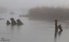 Misty morning (tolaugh55) Tags: gearagh mist fog reeds water river misty treestumps longexposure soft