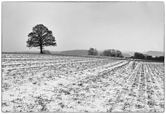 A Local Oak (Martofoto) Tags: winter snow frame tree ridge black white monotone