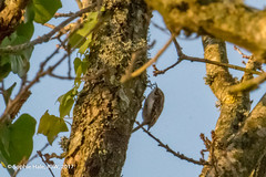 Treecreeper (SLHPhotography1990) Tags: 2018 freshwater january nature walk woodland woods birds wild wildlife native british tree creep creeper treecreeper bird