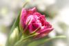 Tulip (Magda Banach) Tags: canon canon80d colors flora flower green macro nature plants tulip