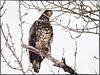 _1140300 (geelog) Tags: alberta bowriver calgary fishcreekprovincialpark sikomelake ab canada raptors birds winter