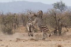 Disputa (ik_kil) Tags: zebra cebra plainszebra equusquagga equusquaggaburchellii iucnnearthreatened kruger krugernationalpark southafrica