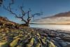 I Stand Alone (Antony Eley) Tags: tree lone rocks green sunrise island volcano texture pattern