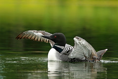 Common Loon Stretching And Doing A Wing Flap (AlaskaFreezeFrame) Tags: commonloon loons loon waterfowl summer lake lakes water bird birds waves alaska alaskafreezeframe beautiful divers redeyes ponds nature outdoors outdoor wildlife anchorage canon 70200mm telephoto gaviaimmer webbedfeet fall colorful reflection stretching wingflap