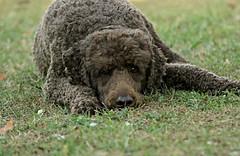 3/52 Bailey (corbiess) Tags: 52weeksfordogs bailey standardpoodle