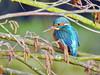 Common Kingfisher (Corine Bliek) Tags: bird birds vogel vogels natuur nature wildlife water stream sloot alcedoatthis kingfisher