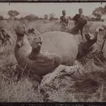 A fallen rhinoceros at camp Kampi ya faru nne, near Tana river in June 1910. ; Photograph 3. thumbnail