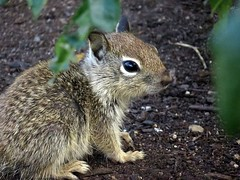 So cute! California ground squirrel (Otospermophilus beecheyi), Balboa Park, San Diego, CA, May 2017 (Judith B. Gandy (on and off, off and on)) Tags: california squirrels otospermophilus animals mammals wildlife balboapark californiagroundsquirrels groundsquirrels otospermophilusbeecheyi sandiego