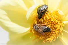 Full house (Javier Palacios Prieto) Tags: bee beatle love sex flower