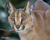 Kasten (ToddLahman) Tags: kasten caracal animal animalambassador mammal beautiful portrait outdoors sandiegozoosafaripark safaripark escondido eyelock canon7dmkii canon100400 canon closeup