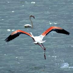Best flamingo 2 (mustafakgumus1) Tags: bird creature beautiful wild nature lake fly