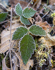 Frosty Blackberry Leaves (s.d.sea) Tags: frost frosty frozen freeze winter plant plants green nature outdoors outside blackberry leaves leaf ice crystals macro pentax k5iis 35mm pnw pacificnorthwest washington washingtonstate north bend rattlesnake lake trail woods forest